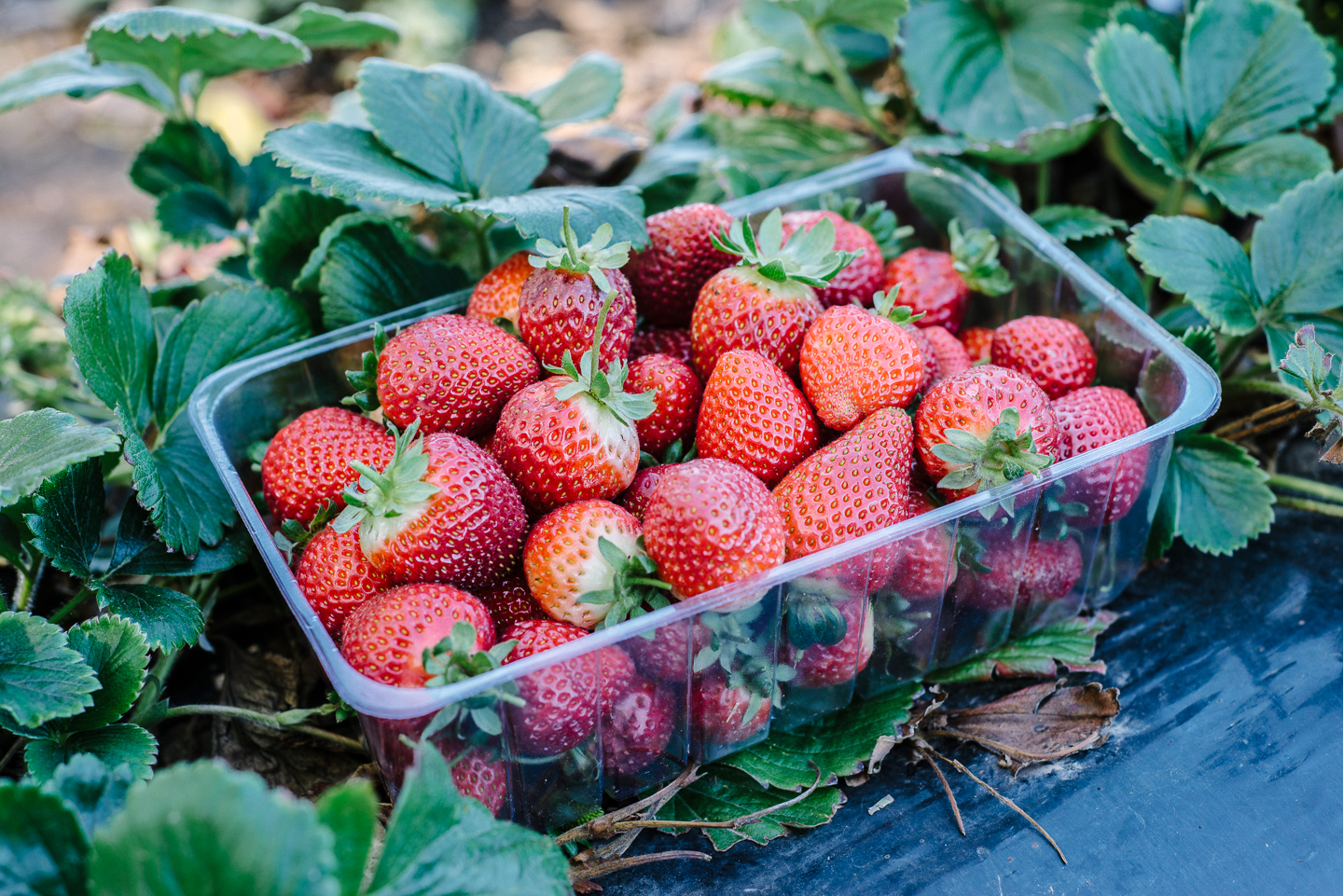 Strawberries at the Beerenberg Strawberry Farm 2 by Christina Soong