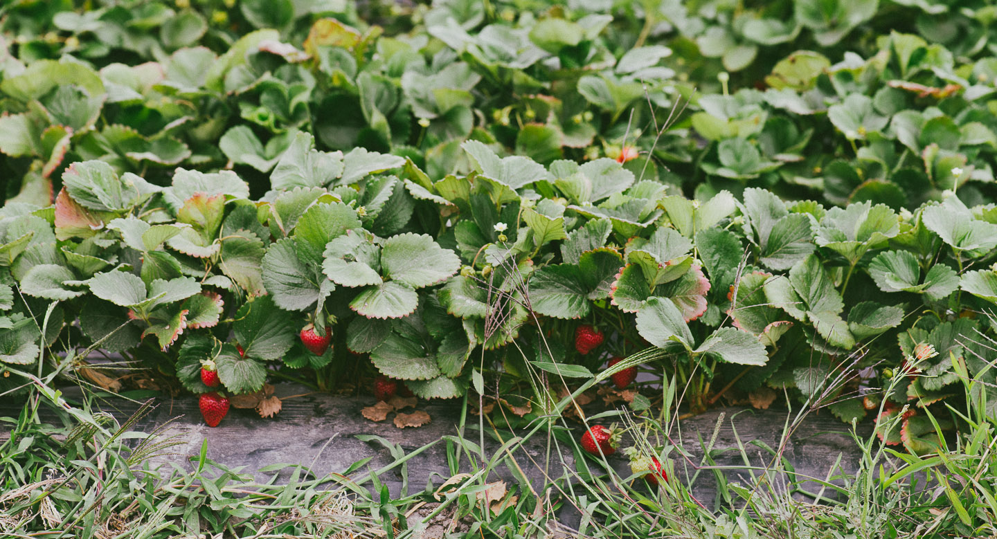 Strawberry_Picking_Strawberry_Mousse.ChristinaSoong-1